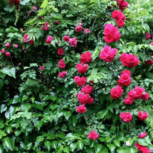 rosa y jazmin